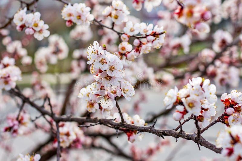 Albero di albicocca nel periodo di fioritura Fioritura degli alberi nello spring_ fotografie stock libere da diritti