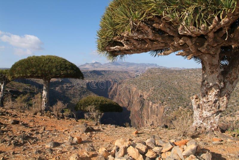 Albero di anima del drago dell'isola di Socotra sul Yemen immagini stock libere da diritti