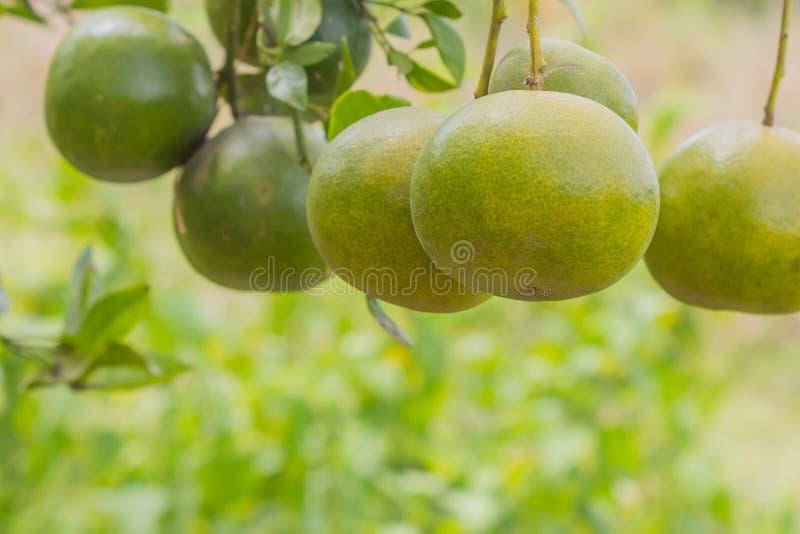 Albero di arance immagini stock libere da diritti