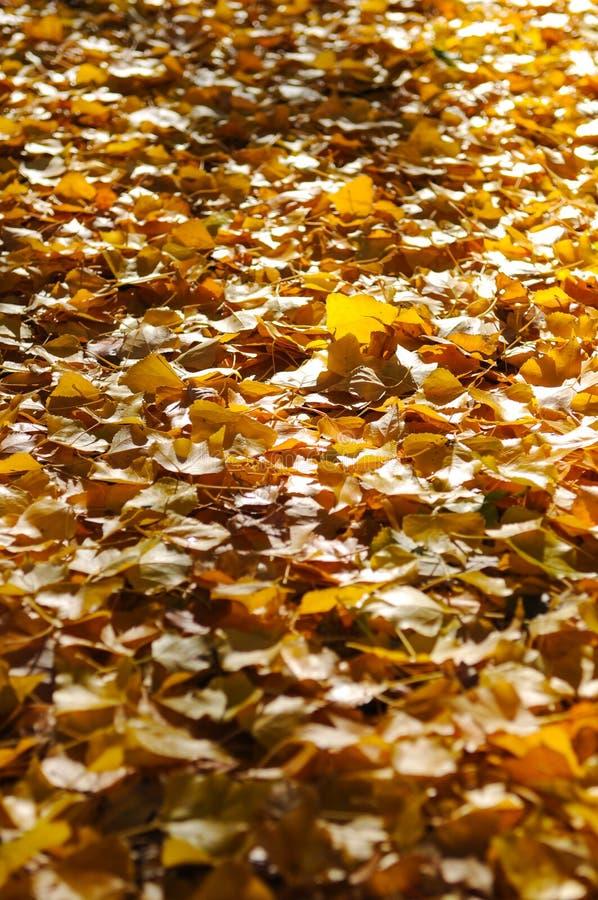 Albero di autunno con la bella natura in Nuova Zelanda immagini stock libere da diritti