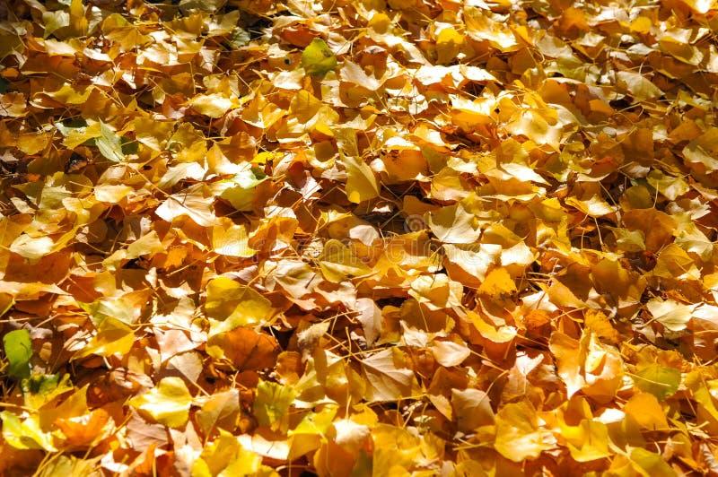 Albero di autunno con la bella natura in Nuova Zelanda fotografia stock