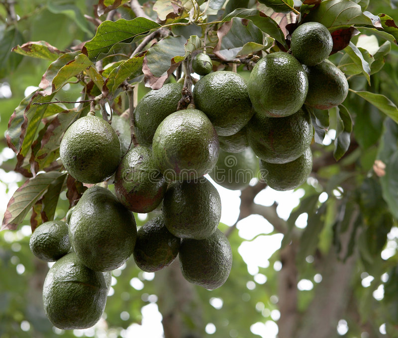 Albero di avocado fotografie stock