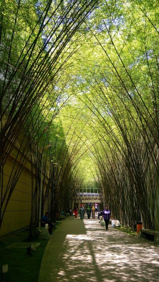 Albero di bambù fotografie stock libere da diritti