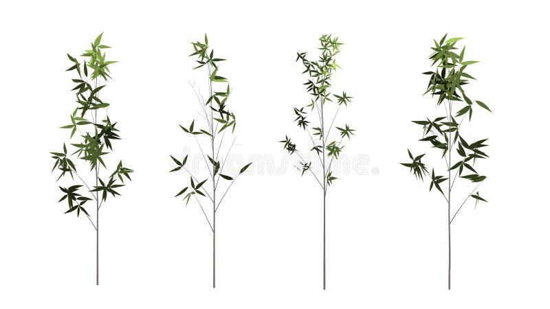 Albero di bambù isolato su fondo bianco con il percorso di ritaglio fotografia stock libera da diritti