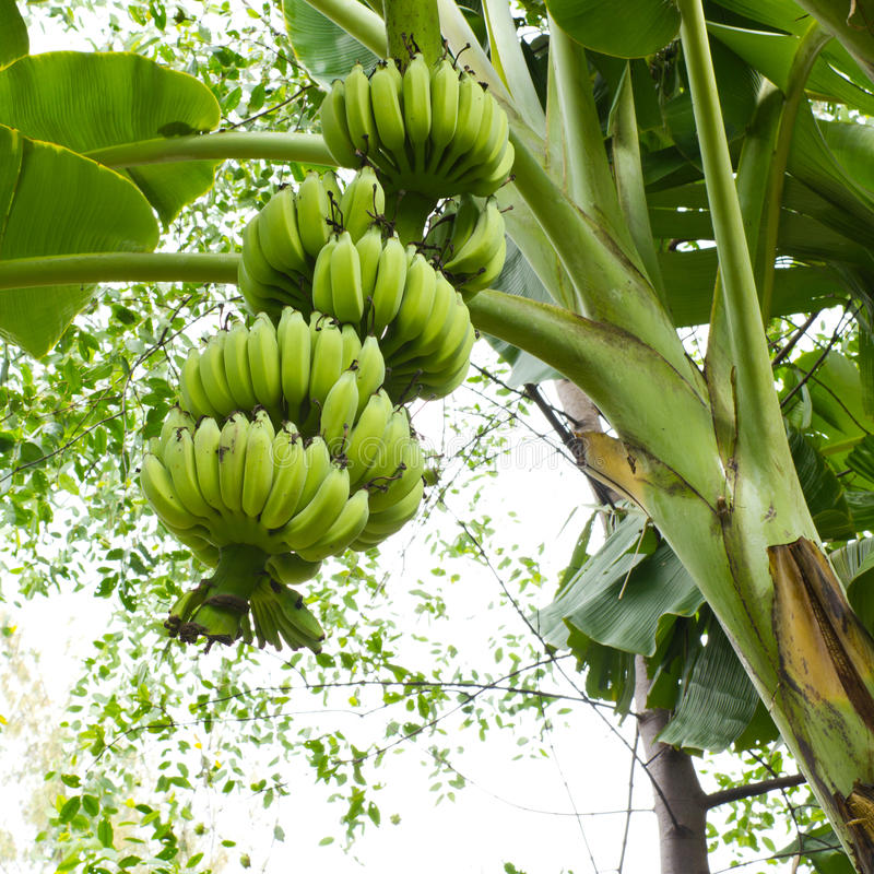 Albero di banana fotografie stock