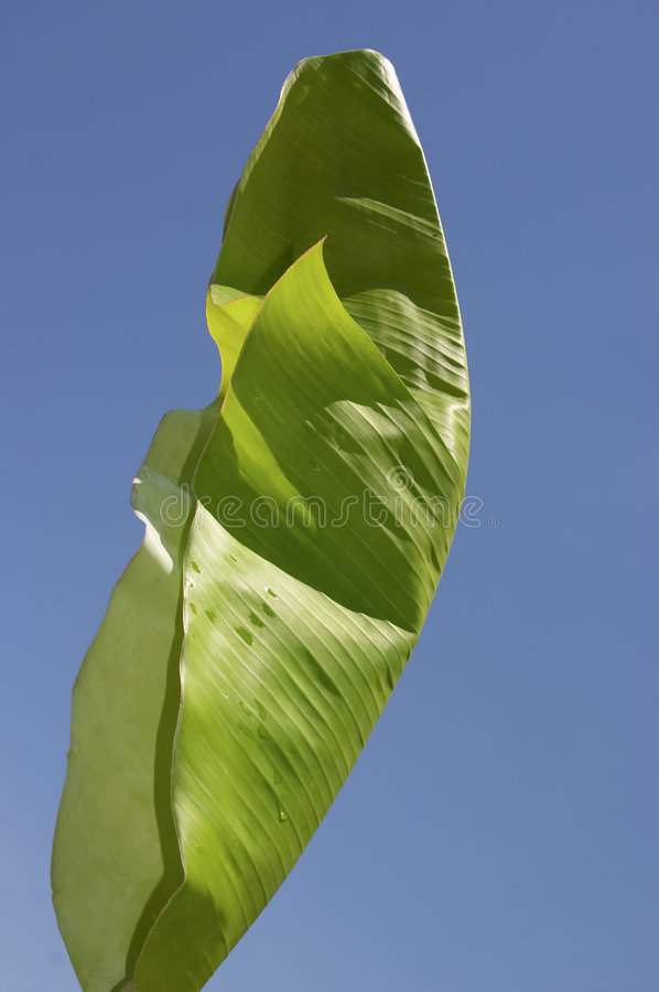 Albero di banana, foglio immagini stock libere da diritti