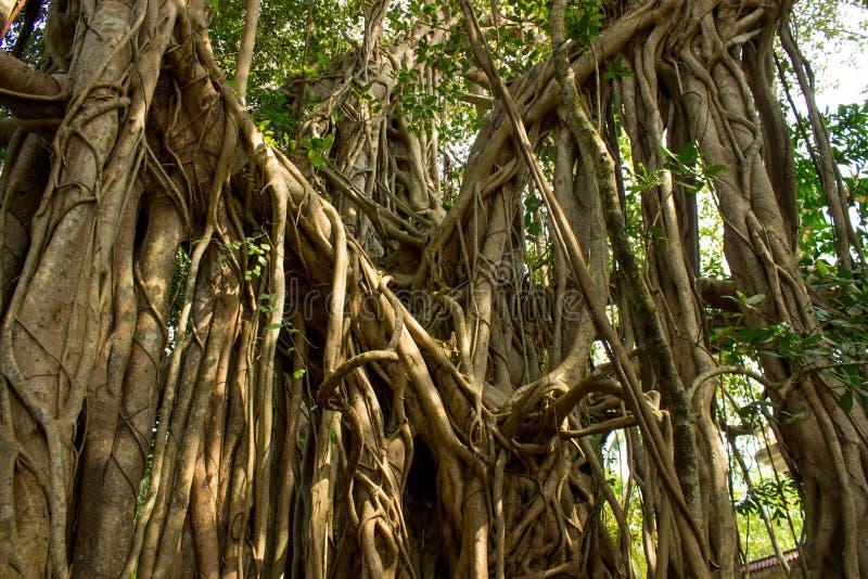 Albero di banyan grazioso fotografie stock libere da diritti