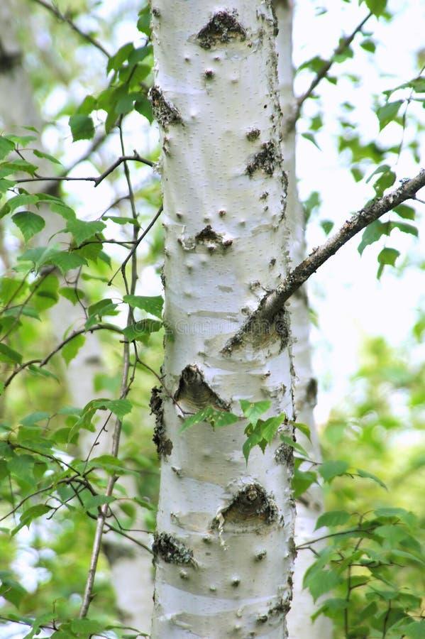 Albero di betulla bianca immagine stock libera da diritti