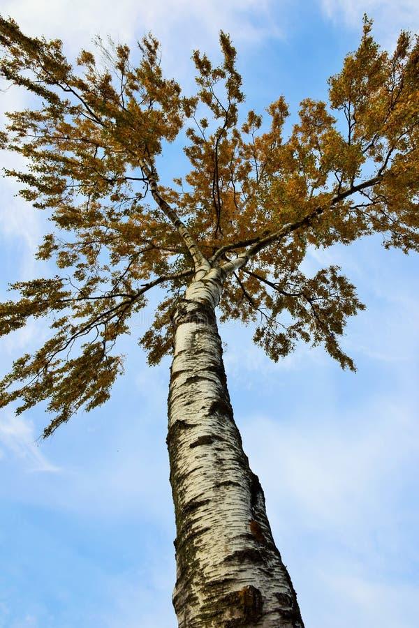 Albero di betulla che raggiunge per il cielo fotografie stock