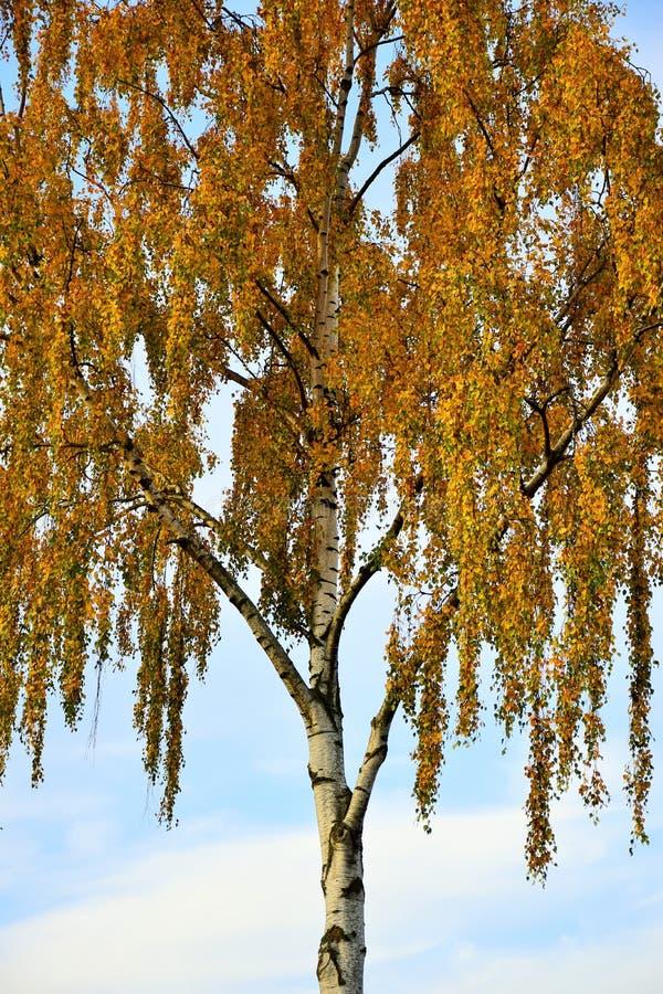 Albero di betulla con le foglie di giallo contro Autumn Blue Sky da Maria_R fotografie stock