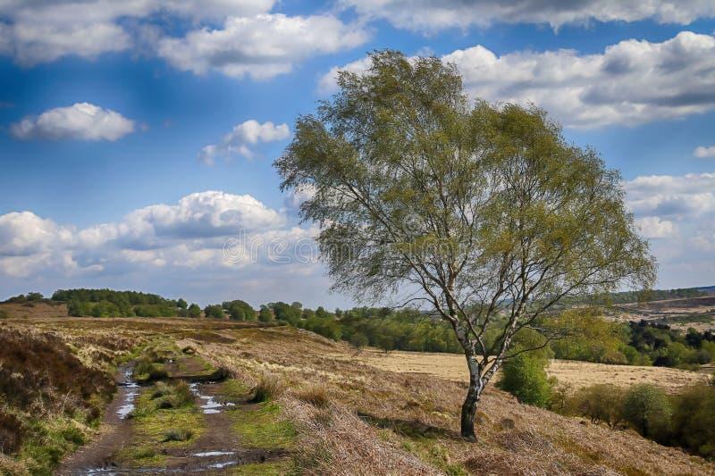 Albero di betulla d'argento con la pista fangosa nel distretto di punta fotografia stock libera da diritti