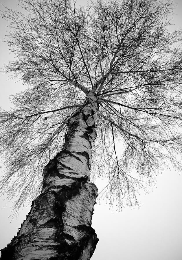 Albero di betulla d'argento in inverno fotografia stock libera da diritti