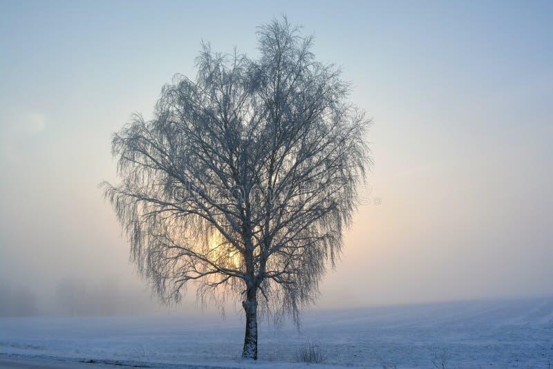 Albero di betulla nell'inverno alla mattina fotografia stock libera da diritti
