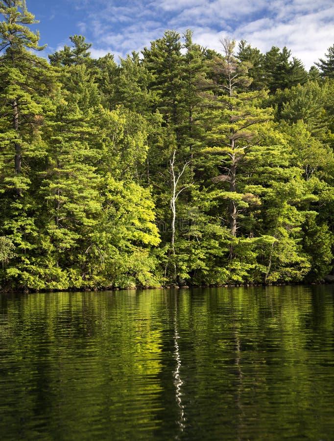 Albero di betulla solo riflesso in lago fotografie stock libere da diritti