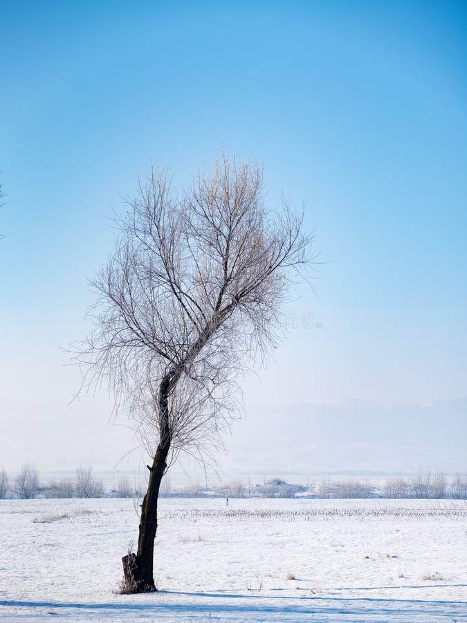 Albero di betulla in un paesaggio freddo di inverno con neve e gelo fotografia stock libera da diritti