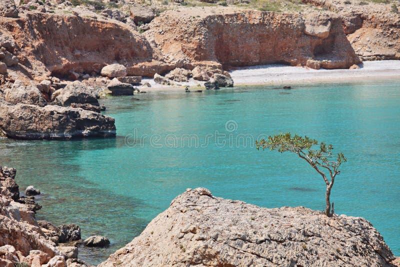 Albero di Boswellia (albero del Frankincense) fotografie stock