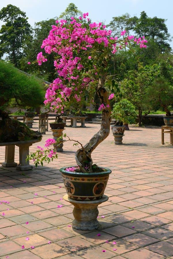 Albero di bougainvilla dei bonsai in giardino di un monastero, tonalità, Vietnam fotografia stock