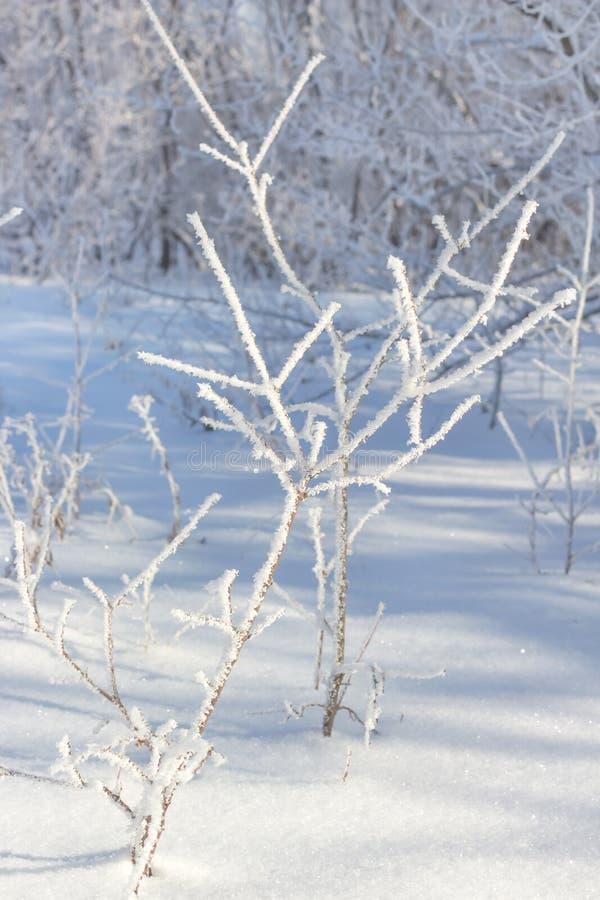 albero di brina fredda della neve di inverno giovane ghiacciato fotografie stock libere da diritti