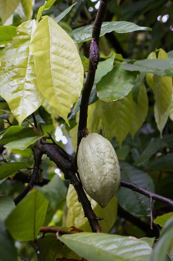 Albero di cacao fotografie stock libere da diritti