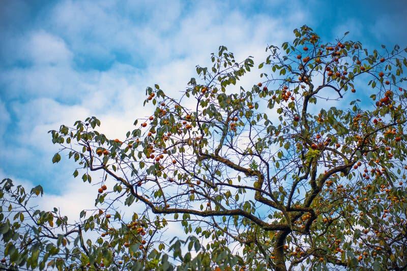 Albero di cachi in cielo blu fotografie stock libere da diritti