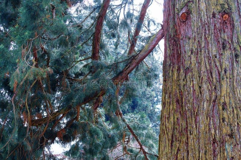 Albero di cedro sull'isola di Mainau immagini stock libere da diritti