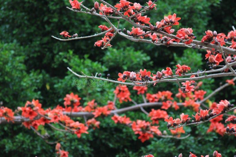 Albero di ceiba del Bombax con il fiore rosso immagini stock libere da diritti