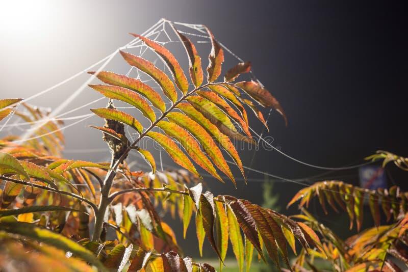 Albero di cenere alla notte in autunno fotografia stock libera da diritti