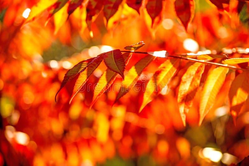 Albero di cenere con le foglie dipinte autunnali immagini stock