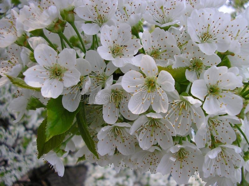 Albero di ciliege di fioritura nella primavera Sorgente Un nuovo inizio fotografia stock libera da diritti