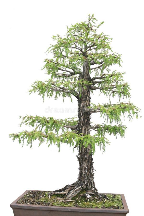 Download Albero Di Cypress Isiolated Sopra Bianco Immagine Stock - Immagine di pianta, sopra: 7317087