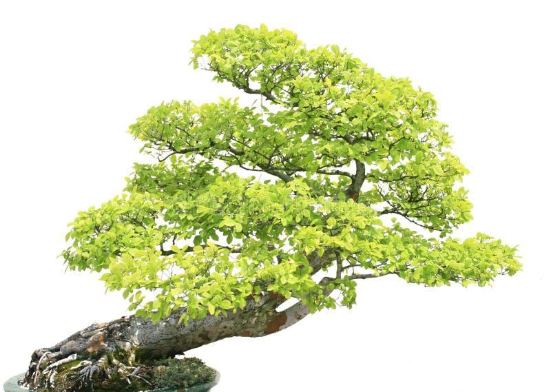 Download Albero Di Cypress Isiolated Sopra Bianco Immagine Stock - Immagine di piantato, sopra: 7317099
