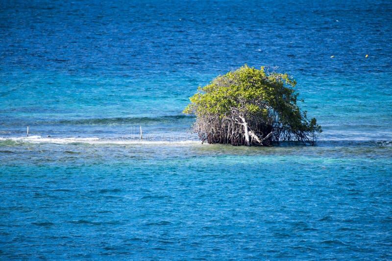 Albero di divi di Divi - coriaria di Libidibia - sommerso sul banco di sabbia, Aruba fotografie stock libere da diritti