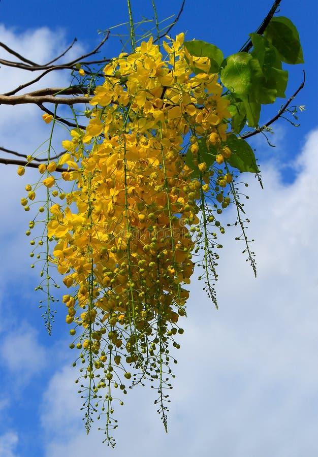 Albero di doccia dorata sul fondo del cielo fotografia stock