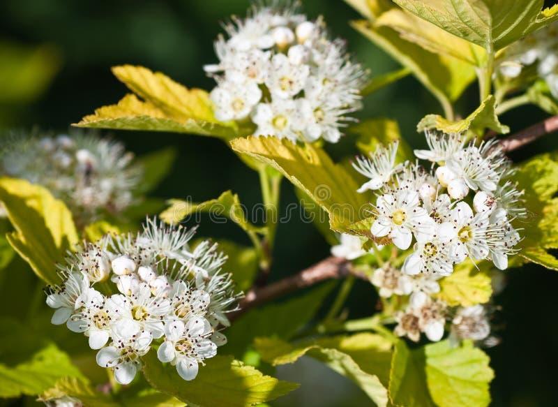 Albero di Dogwood di fioritura -- Cornina alba immagini stock libere da diritti
