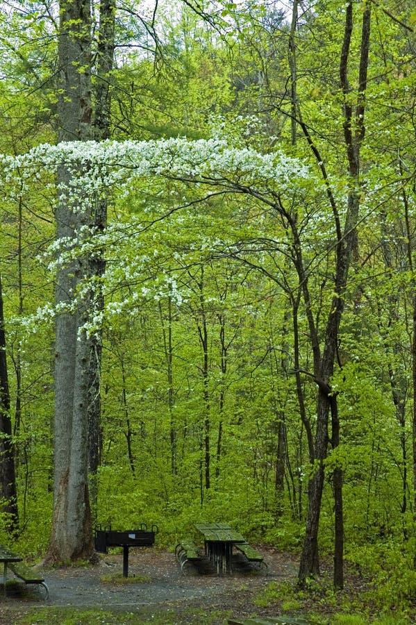 Albero di Dogwood nella sosta nazionale di Smokies immagine stock