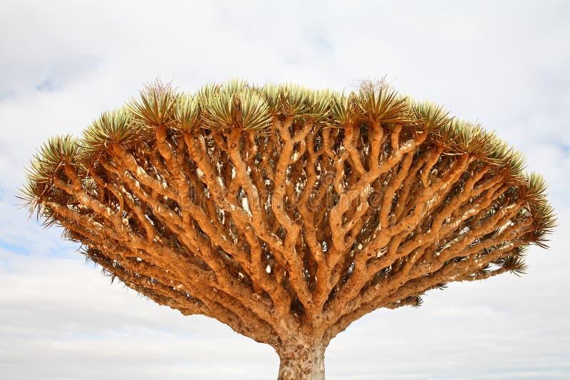 Albero di drago - cinnabari del Dracaena fotografia stock libera da diritti