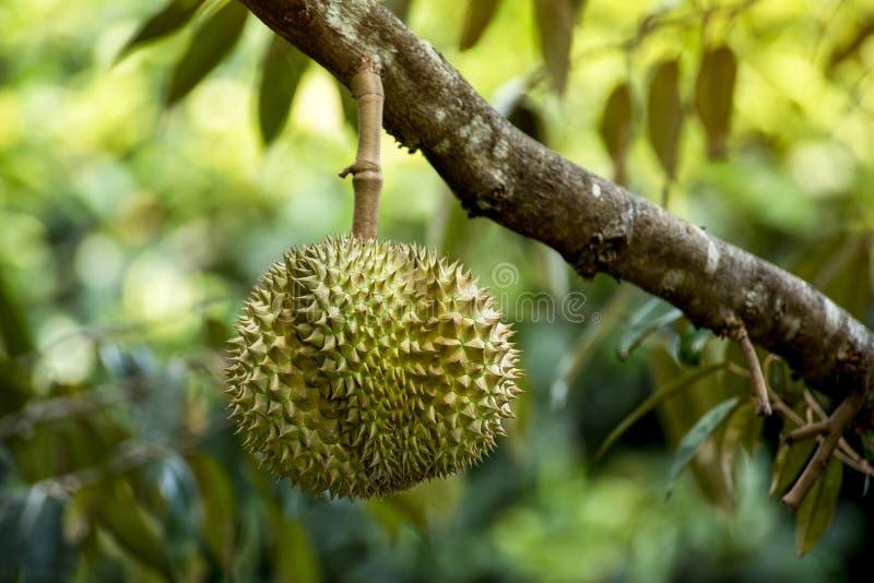 Albero di Durian dal paese della Tailandia immagini stock libere da diritti