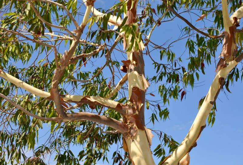 Albero di eucalyptus della sbucciatura immagini stock