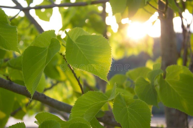 Albero di faggio davanti al tramonto fotografia stock libera da diritti