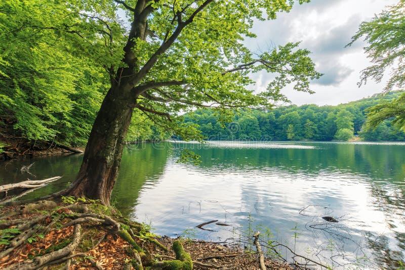 Albero di faggio sulla riva di un lago fotografie stock libere da diritti
