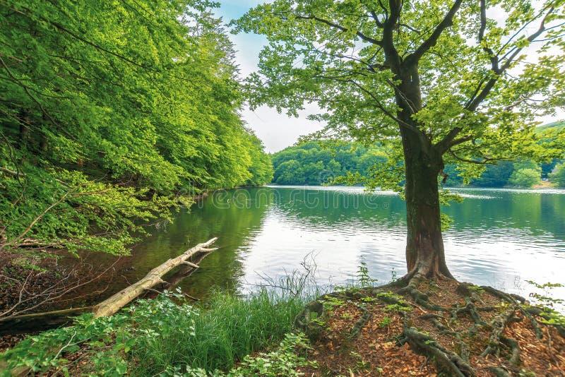 Albero di faggio sulla riva di un lago immagine stock libera da diritti