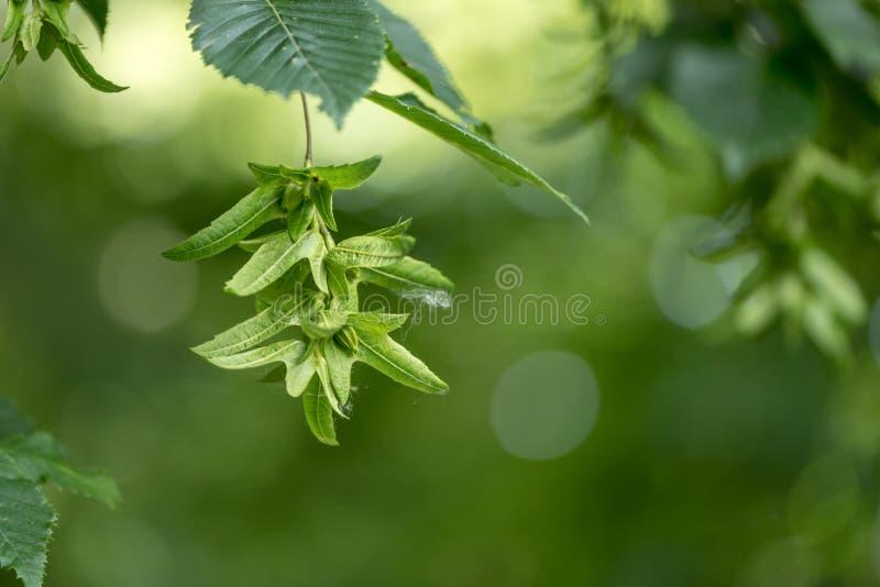 Albero di faggio verde di estate davanti a fondo vago con le faggine acerbe fotografia stock