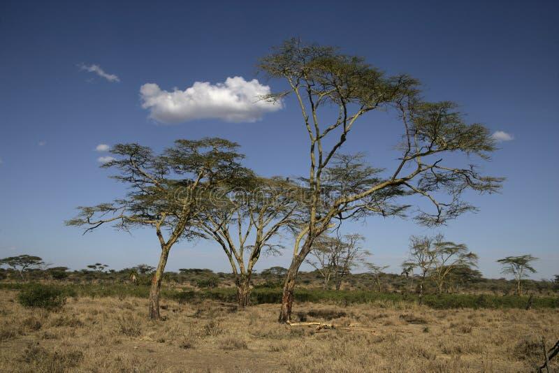 Albero di febbre gialla acacia xanthophloea fotografia for Acacia albero