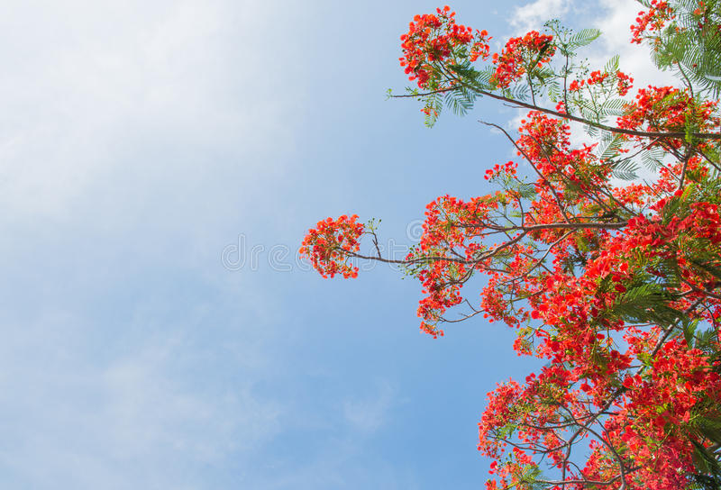 Albero di fiamma o albero reale di Poinciana fotografie stock libere da diritti