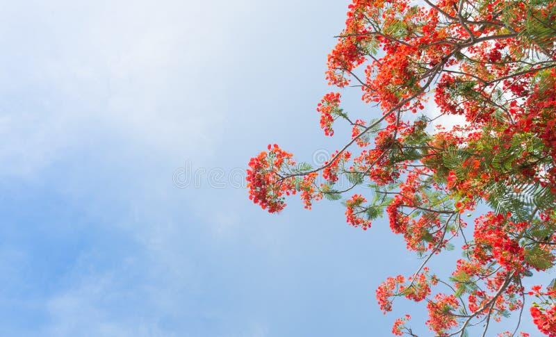 Albero di fiamma o albero reale di Poinciana immagine stock libera da diritti