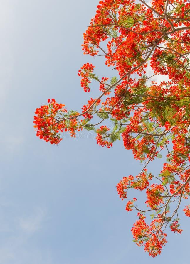 Albero di fiamma o albero reale di Poinciana fotografia stock libera da diritti
