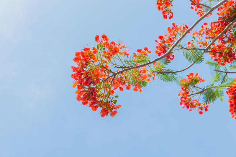 Albero di fiamma o albero reale di Poinciana immagini stock libere da diritti