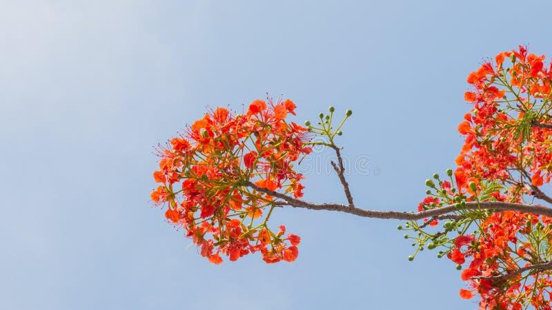 Albero di fiamma o albero reale di Poinciana fotografie stock