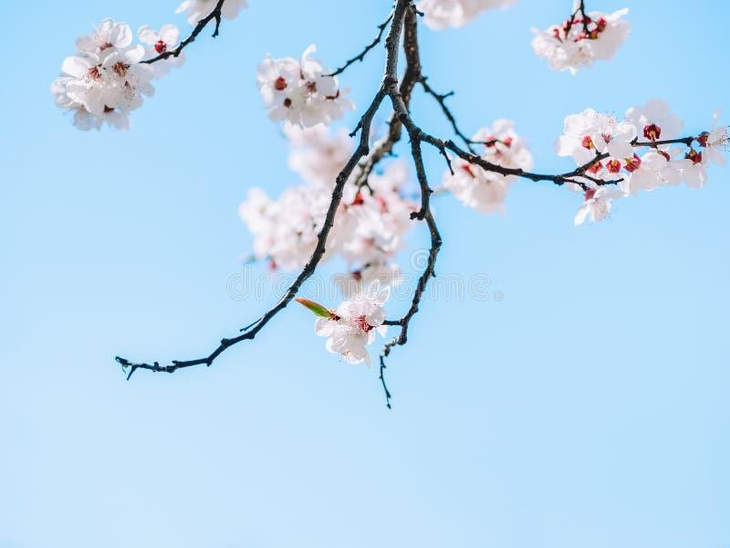 Albero di fioritura bianco dei fiori taglienti e defocused Copi lo spazio Priorità bassa dell'acquerello Rami di albero di fiorit immagini stock libere da diritti