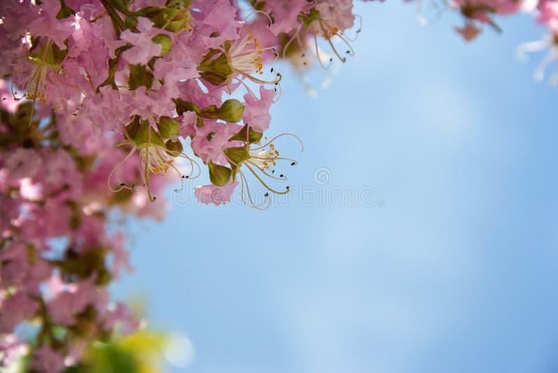 Albero di fioritura con i fiori rosa fotografia stock